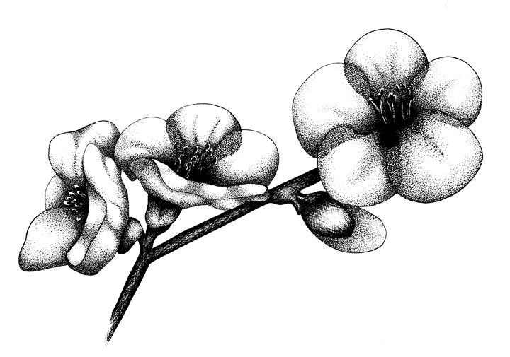 Cherry Blossom - Stephanie Thompson