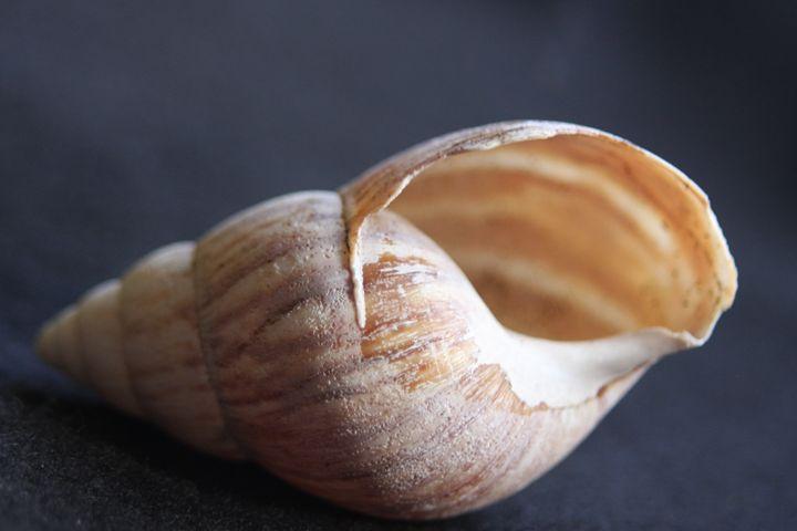 Seashell - sheryl chapman photography