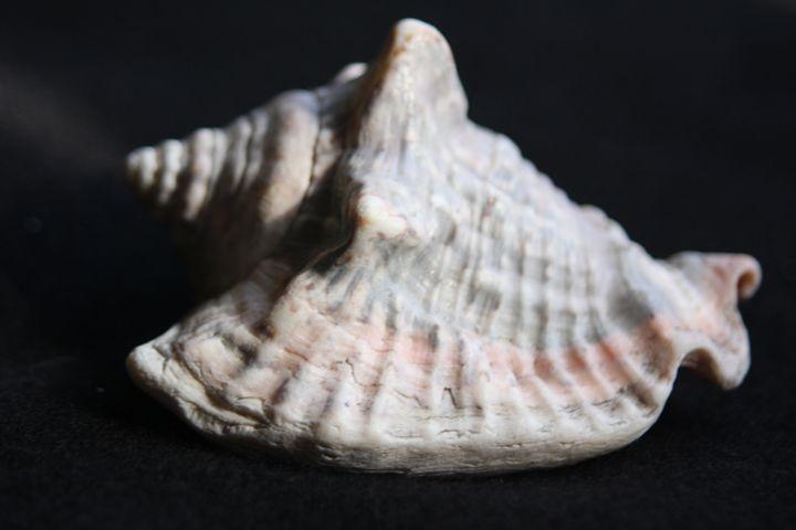 Pink Stripped Seashell - sheryl chapman photography