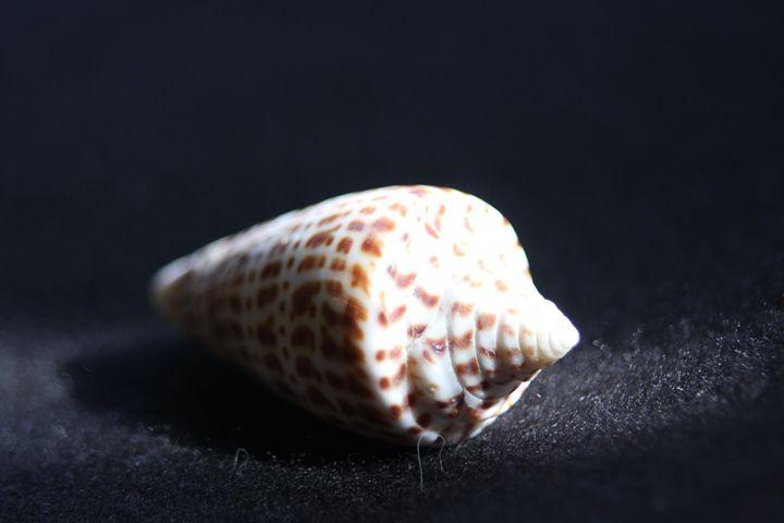 Sea Shell - sheryl chapman photography