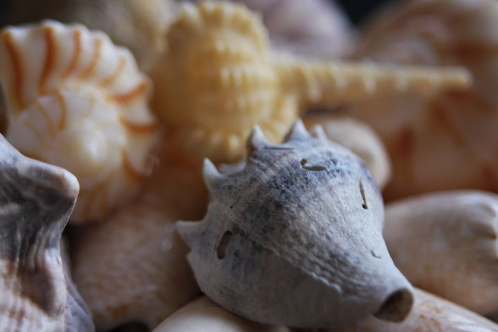 Pretty Seashells - sheryl chapman photography