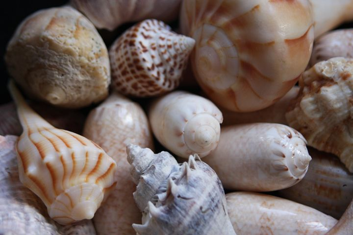Seashells - sheryl chapman photography