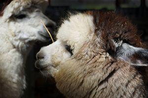 Alpaca - LDM Photographie