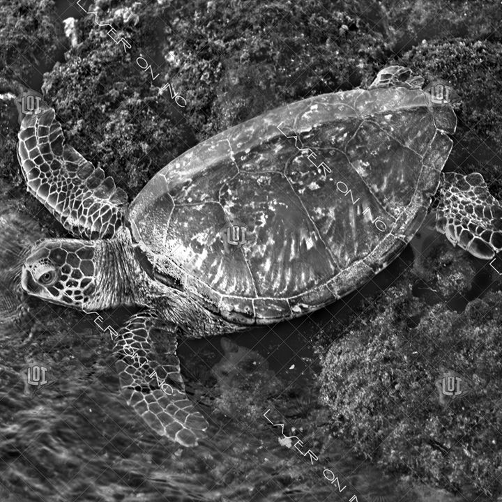 honu-going-in12in - Laser On Inc