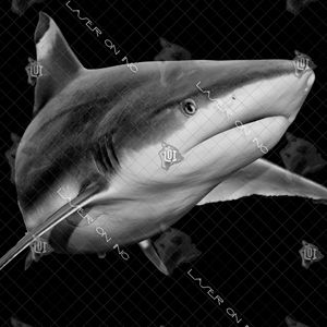 black-tip-shark1-12in
