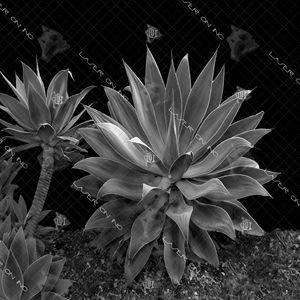 centuryplant1-12in