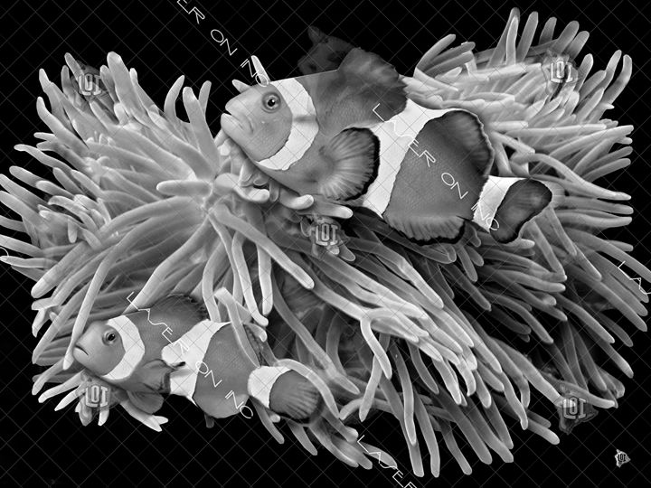 clownfish-sd - Laser On Inc