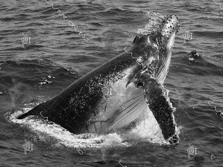 whale-splash-sd - Laser On Inc
