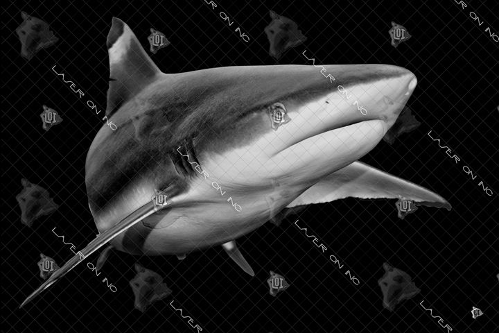 black-tip-shark1-24 - Laser On Inc