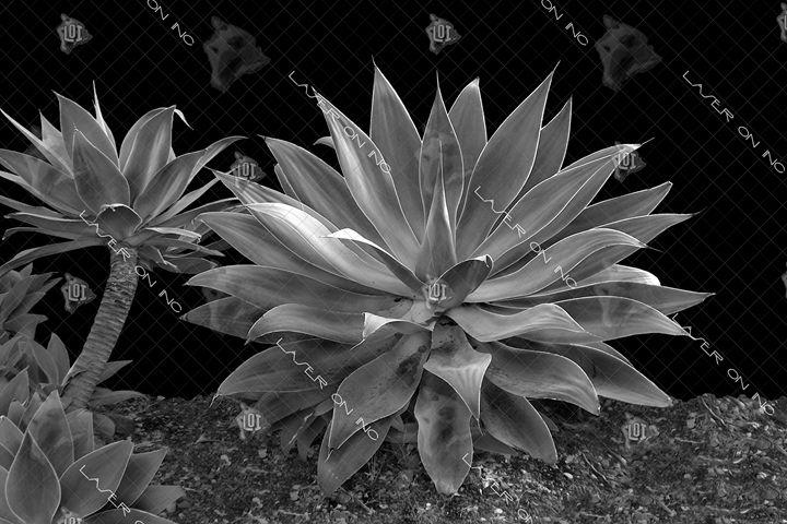 century-plant1-24 - Laser On Inc