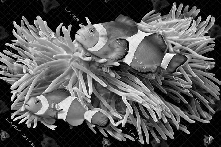 clownfish-24 - Laser On Inc