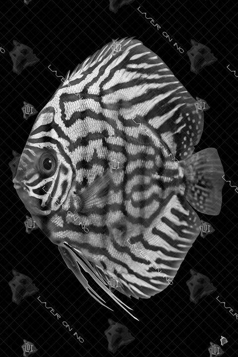 vertical-fish0643-24 - Laser On Inc