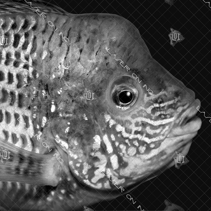 fishh7238656-12in - Laser On Inc