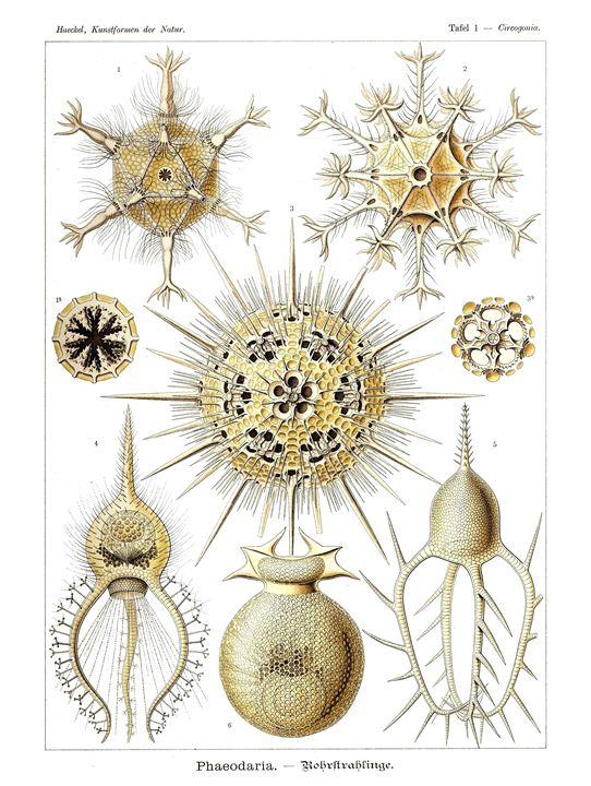 Phaeodaria - Prints Diary