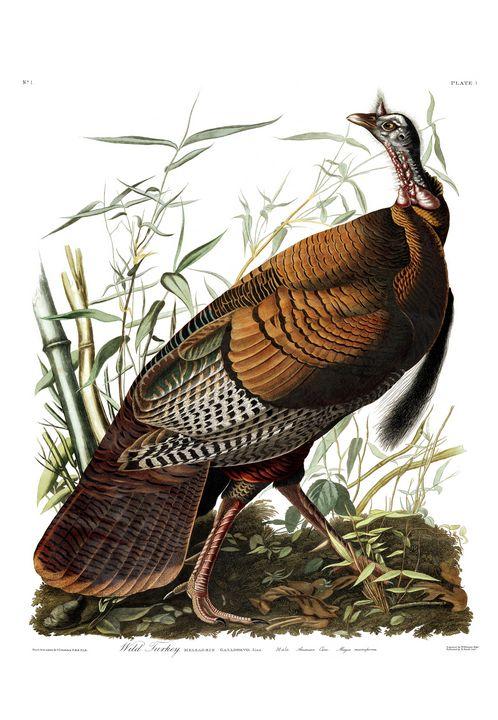 Wild Turkey by John J. Audubon - Prints Diary