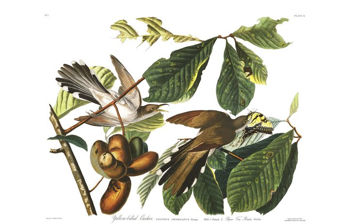Yellow-billed Cuckoo - Prints Diary