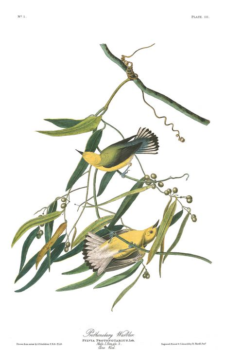 Prothonotary Warbler - Prints Diary