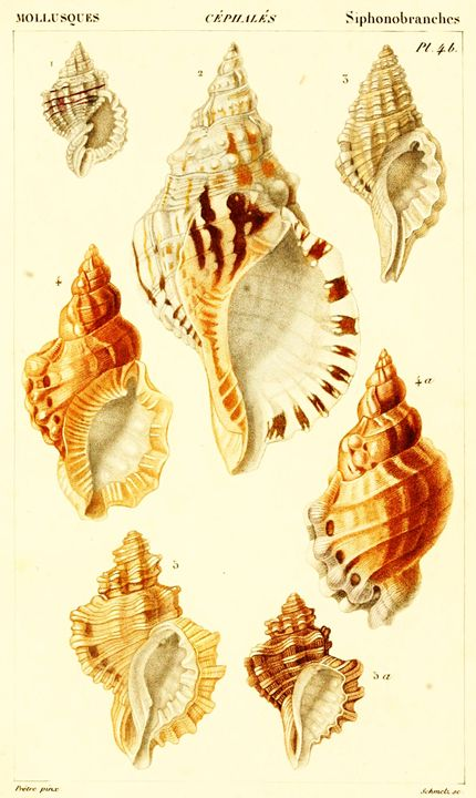 Vintage Mollusk Art - Prints Diary