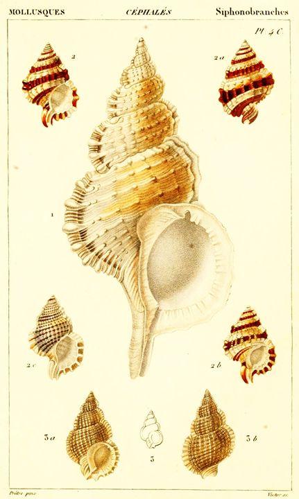 Vintage Mollusk Art - Ells