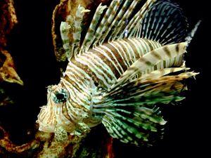 Majestic Lionfish