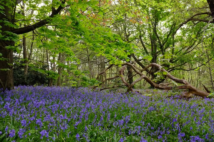 Bluebells at Clumber - Artistry by Gruffy Print