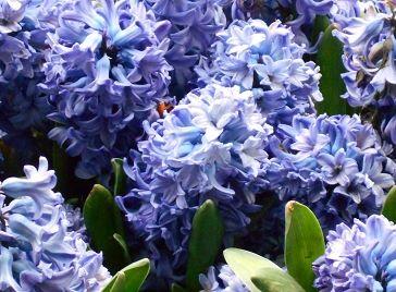 Hyacinths - Artistry by Gruffy Print
