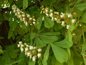 Hose Chestnuts in Bloom