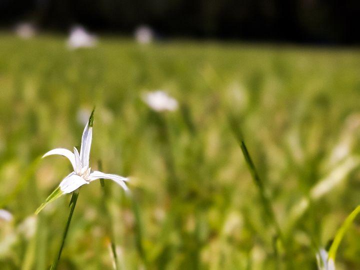 Wildflower in a Field - Laura McClure