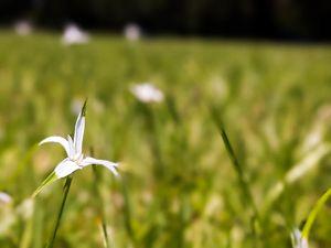 Wildflower in a Field