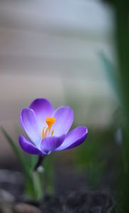 Mid-March Crocus