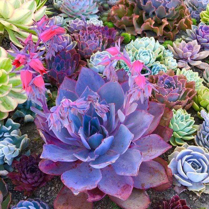 Succulents 1 - Charlie Goodwin