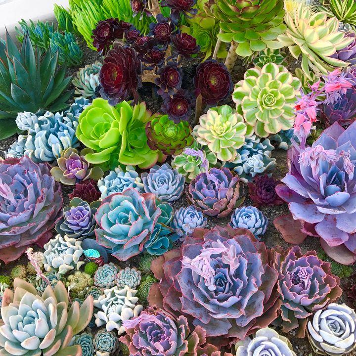 Succulents 3 - Charlie Goodwin