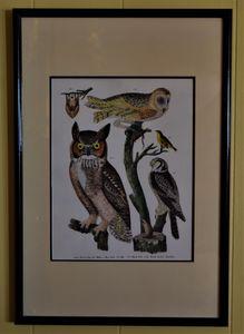 Audubon Owl & Birds Illustraion