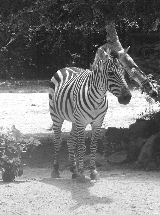 Black and White Zebra - Jade Ellyette