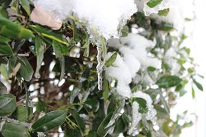 Frozen Bush