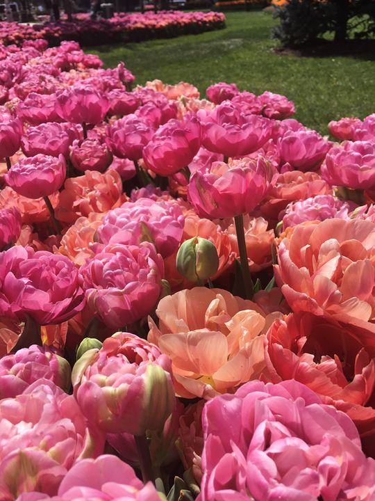 Tulips, flowers 1 - Rif Maria photography