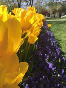 Tulips, flowers 2