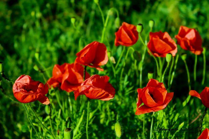 Poppies - Naumovche Art