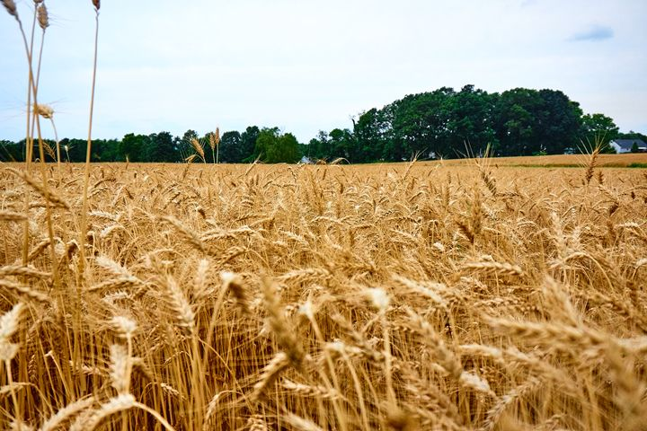 Wheat Field 2 - Michel M