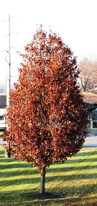 Fall Tree - KC Photography