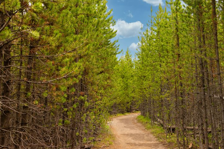 Down The Pine Trail - Joie Cameron-Brown Photography