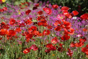 Tahoe Flowers