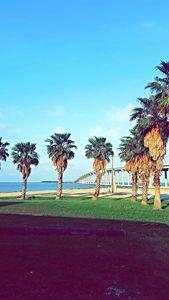 Texas palms