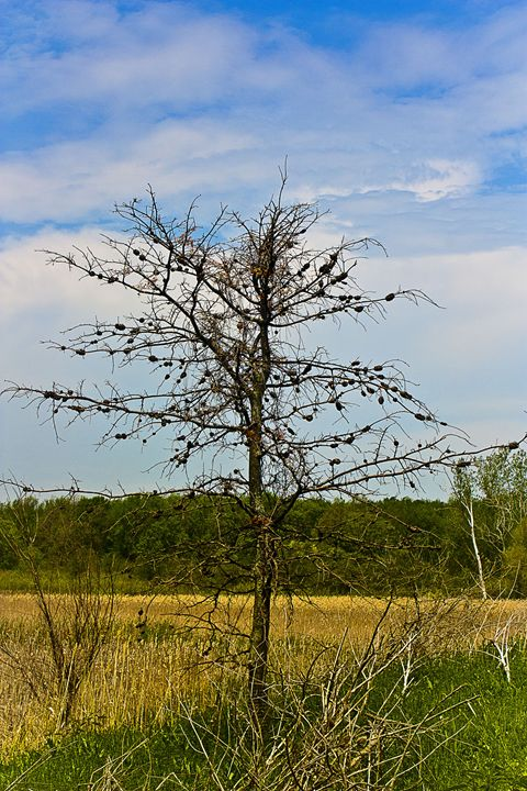 Tree over Field of Cattails - MBenton Studios