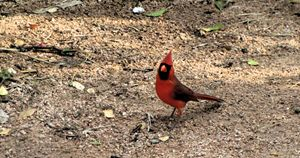 The Cardinal is In