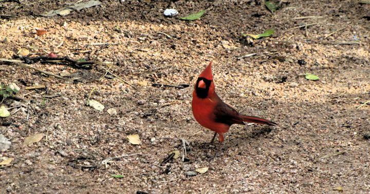 The Cardinal is In - DesginMyKind