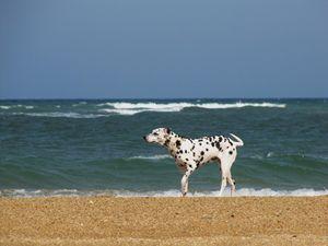 Surfing Dalmatian 2