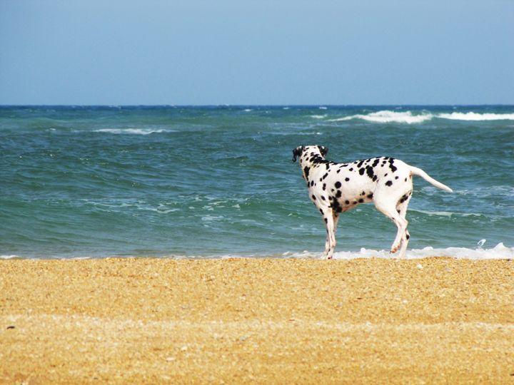 Surfing Dalmatian - DesginMyKind