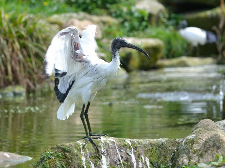 Sacred Ibis - Russell Field