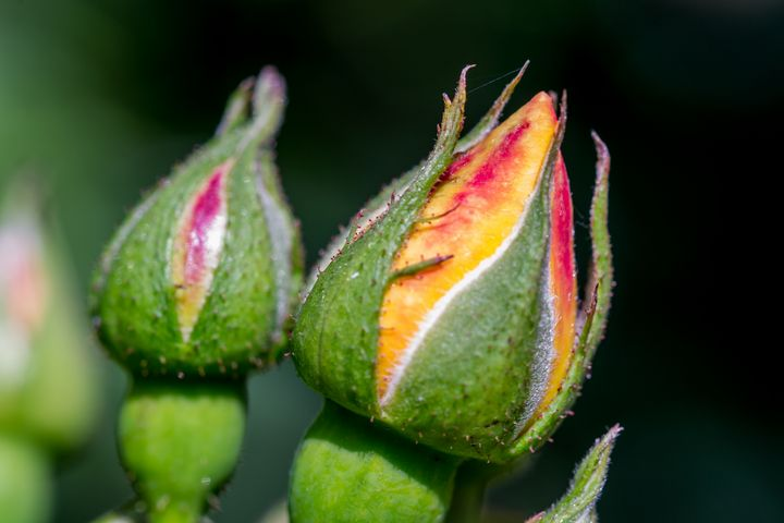 Rose buds - Russell Field